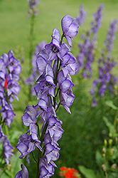 Common Monkshood (Aconitum napellus) at Town And Country Gardens