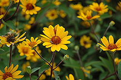 Prairie Sunset False Sunflower (Heliopsis helianthoides 'Prairie Sunset') at Town And Country Gardens