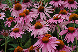 Magnus Coneflower (Echinacea purpurea 'Magnus') at Town And Country Gardens