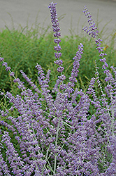 Russian Sage (Perovskia atriplicifolia) at Town And Country Gardens