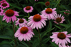 Bright Star™ Coneflower (Echinacea purpurea 'Leuchtstern') at Town And Country Gardens