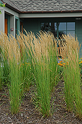 Karl Foerster Reed Grass (Calamagrostis x acutiflora 'Karl Foerster') at Town And Country Gardens