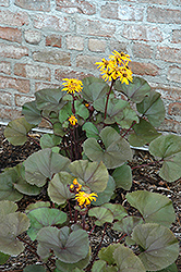 Britt Marie Crawford Rayflower (Ligularia dentata 'Britt Marie Crawford') at Town And Country Gardens