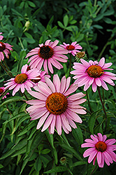 Bravado Coneflower (Echinacea purpurea 'Bravado') at Town And Country Gardens