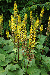 The Rocket Rayflower (Ligularia 'The Rocket') at Town And Country Gardens