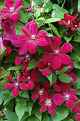 Rouge Cardinal Clematis (Clematis 'Rouge Cardinal') at Town And Country Gardens