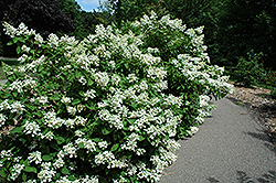 Pink Diamond Hydrangea (Hydrangea paniculata 'Pink Diamond') at Town And Country Gardens