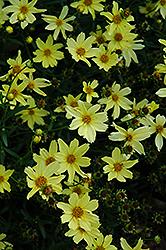 Creme Brulee Tickseed (Coreopsis 'Creme Brulee') at Town And Country Gardens