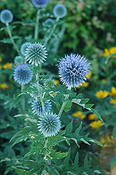 Globe Thistle (Echinops ritro) at Town And Country Gardens
