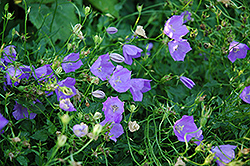 Carpathain Bellflower (Campanula carpatica) at Town And Country Gardens