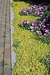 Golden Creeping Jenny (Lysimachia nummularia 'Aurea') at Town And Country Gardens