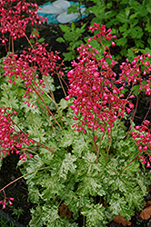 Snow Angel Coral Bells (Heuchera sanguinea 'Snow Angel') at Town And Country Gardens