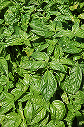 Sweet Basil (Ocimum basilicum) at Town And Country Gardens