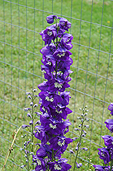 Blue Fountains Larkspur (Delphinium 'Blue Fountains') at Town And Country Gardens