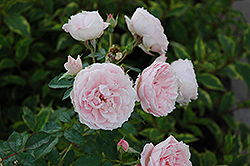 Morden Blush Rose (Rosa 'Morden Blush') at Town And Country Gardens