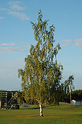 Cutleaf Weeping Birch (Betula pendula 'Dalecarlica') at Town And Country Gardens
