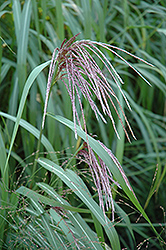 Maiden Grass (Miscanthus sinensis) at Town And Country Gardens