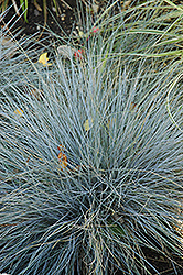 Blue Fescue (Festuca glauca) at Town And Country Gardens