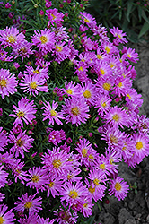 Purple Beauty Aster (Aster 'Purple Beauty') at Town And Country Gardens