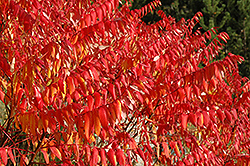 Smooth Sumac (Rhus glabra) at Town And Country Gardens