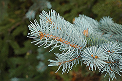 Blue Colorado Spruce (Picea pungens 'var. glauca') at Town And Country Gardens