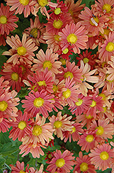 Coral Daisy Chrysanthemum (Chrysanthemum 'Coral Daisy') at Town And Country Gardens
