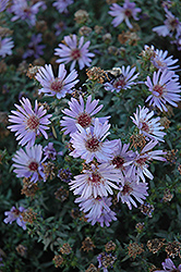 Woods Blue Aster (Aster 'Woods Blue') at Town And Country Gardens