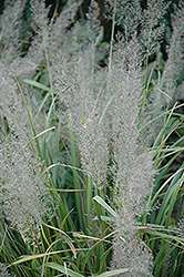 Korean Reed Grass (Calamagrostis brachytricha) at Town And Country Gardens