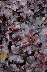 Licorice Coral Bells (Heuchera 'Licorice') at Town And Country Gardens