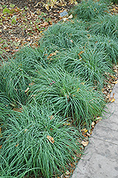 Blue Sedge (Carex glauca) at Town And Country Gardens
