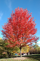 Autumn Blaze Maple (Acer x freemanii 'Jeffersred') at Town And Country Gardens