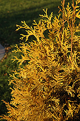 Yellow Ribbon Arborvitae (Thuja occidentalis 'Yellow Ribbon') at Town And Country Gardens