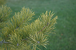 Scotch Pine (Pinus sylvestris) at Town And Country Gardens