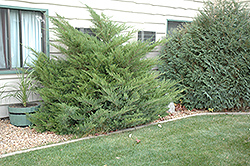 Mint Julep Juniper (Juniperus chinensis 'Mint Julep') at Town And Country Gardens