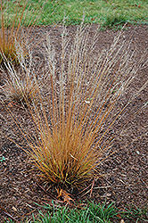 Moorflame Moor Grass (Molinia caerulea 'Moorflame') at Town And Country Gardens