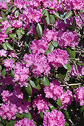 P.J.M. Rhododendron (Rhododendron 'P.J.M.') at Town And Country Gardens
