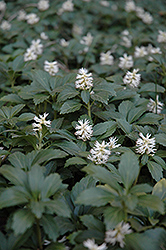 Japanese Spurge (Pachysandra terminalis) at Town And Country Gardens