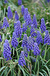 Grape Hyacinth (Muscari armeniacum) at Town And Country Gardens