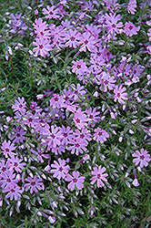 Fort Hill Moss Phlox (Phlox subulata 'Fort Hill') at Town And Country Gardens
