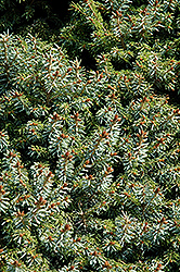 Dwarf Serbian Spruce (Picea omorika 'Nana') at Town And Country Gardens