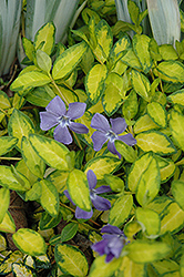 Illumination Periwinkle (Vinca minor 'Illumination') at Town And Country Gardens