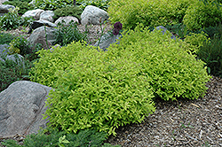 Goldmound Spirea (Spiraea japonica 'Goldmound') at Town And Country Gardens