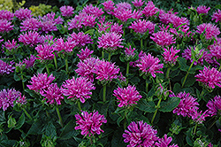 Petite Delight Beebalm (Monarda 'Petite Delight') at Town And Country Gardens