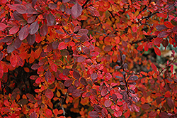 Rose Glow Japanese Barberry (Berberis thunbergii 'Rose Glow') at Town And Country Gardens