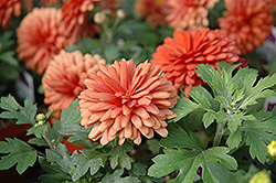 Jennifer Chrysanthemum (Chrysanthemum 'Jennifer') at Town And Country Gardens