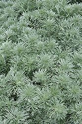Silver Mound Artemesia (Artemisia schmidtiana 'Silver Mound') at Town And Country Gardens