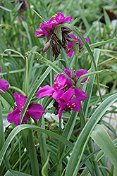 Red Grape Spiderwort (Tradescantia x andersoniana 'Red Grape') at Town And Country Gardens