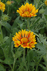 Oranges And Lemons Blanket Flower (Gaillardia x grandiflora 'Oranges And Lemons') at Town And Country Gardens