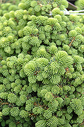 Little Gem Spruce (Picea abies 'Little Gem') at Town And Country Gardens