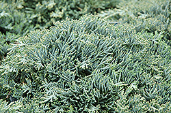 Icee Blue Juniper (Juniperus horizontalis 'Icee Blue') at Town And Country Gardens
